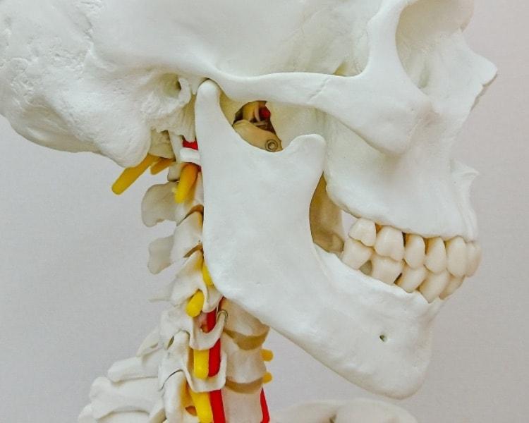 顎関節が見える模型