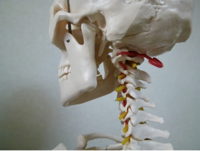 顎関節を表している骨模型